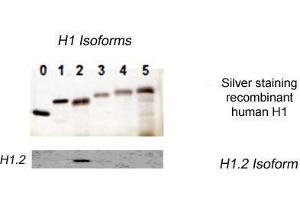 Image no. 1 for anti-Histone Cluster 1, H1c (HIST1H1C) (N-Term) antibody (ABIN1107539)