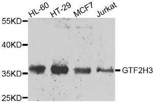 Image no. 3 for anti-General Transcription Factor IIH, Polypeptide 3, 34kD (GTF2H3) antibody (ABIN6141506)
