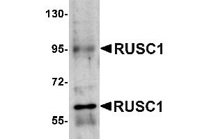 Image no. 1 for anti-RUN and SH3 Domain Containing 1 (RUSC1) (C-Term) antibody (ABIN1030631)