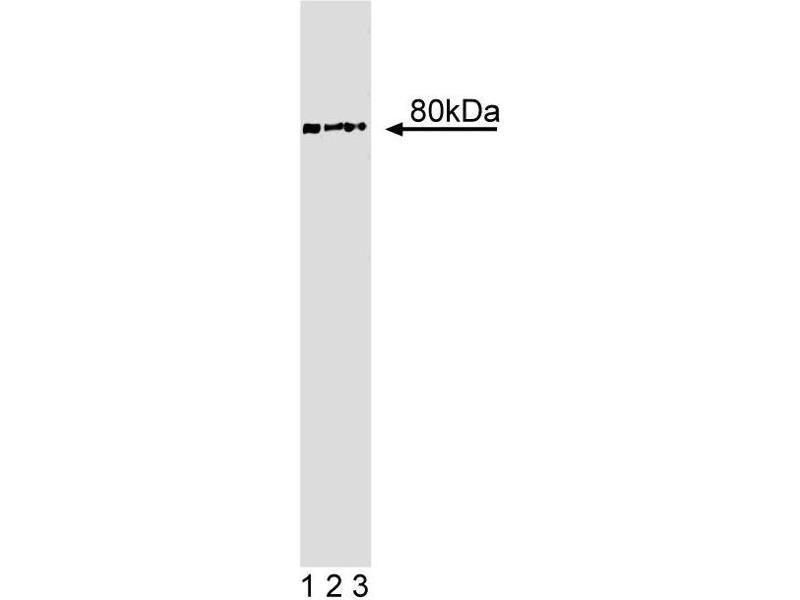 Western Blotting (WB) image for anti-Thyroid Hormone Receptor Interactor 10 (TRIP10) (AA 411-501) antibody (ABIN968876)