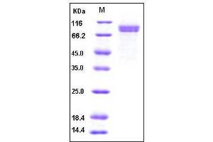 Image no. 1 for Cadherin 8 (CDH8) (AA 1-621), (Extracellular Domain) protein (His tag) (ABIN2002165)