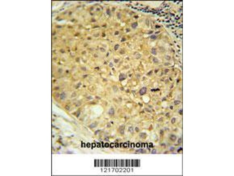 Immunohistochemistry (IHC) image for anti-Dopa Decarboxylase (Aromatic L-Amino Acid Decarboxylase) (DDC) (AA 32-61), (N-Term) antibody (ABIN651727)