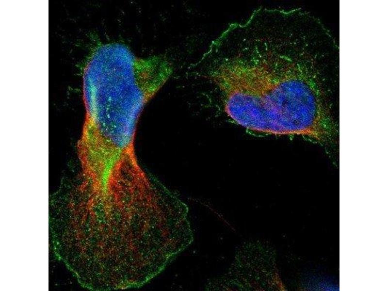 Immunofluorescence (IF) image for anti-BAI1-Associated Protein 2-Like-1 (BAIAP2L1) antibody (ABIN4282989)