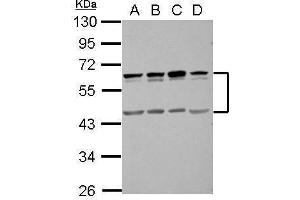 Image no. 2 for anti-Single Immunoglobulin and Toll-Interleukin 1 Receptor (TIR) Domain (SIGIRR) (Center) antibody (ABIN2856102)
