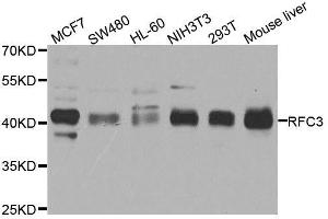 Image no. 1 for anti-Replication Factor C (Activator 1) 3, 38kDa (RFC3) antibody (ABIN1682521)