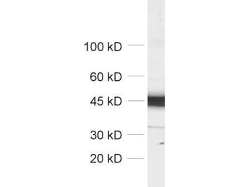 Western Blotting (WB) image for anti-Actin, beta (ACTB) (AA 2-16) antibody (ABIN1742508)