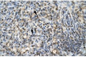 Image no. 3 for anti-Early Growth Response 1 (EGR1) (N-Term) antibody (ABIN2779517)