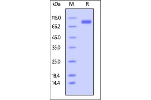 Image no. 1 for Signal-Regulatory Protein alpha (SIRPA) (AA 31-370) (Active) protein (Fc Tag,AVI tag,Biotin) (ABIN5526677)