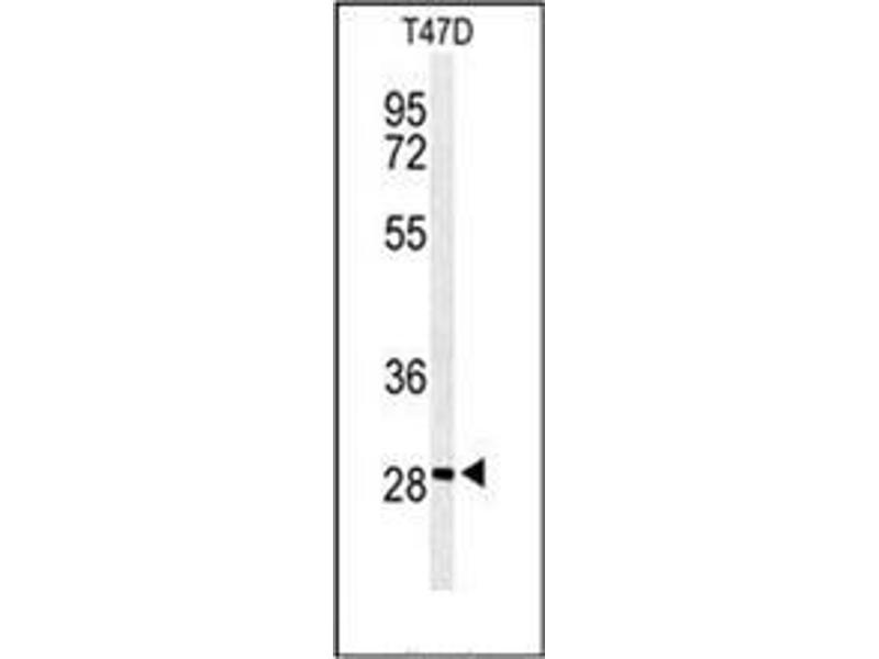 Western Blotting (WB) image for anti-rho GTPase Activating Protein 19 (ARHGAP19) (AA 202-232), (Middle Region) antibody (ABIN954539)