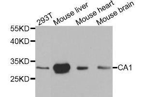 Image no. 1 for anti-Carbonic Anhydrase I (CA1) antibody (ABIN3021297)