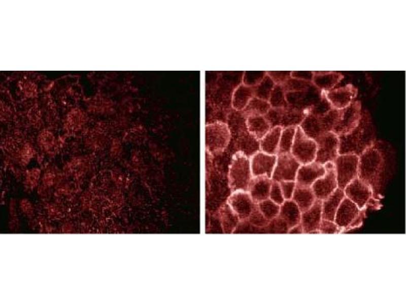 image for anti-Phosphotyrosine antibody (ABIN967693)