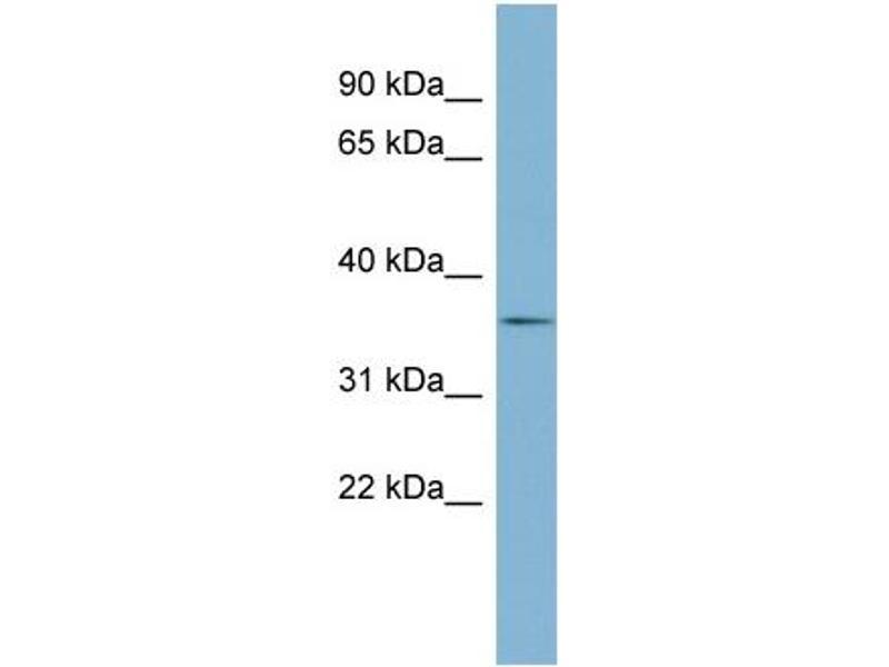 Western Blotting (WB) image for anti-Ephrin B1 (EFNB1) (Middle Region) antibody (ABIN2782636)