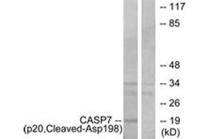 Western Blotting (WB) image for anti-Caspase 7, Apoptosis-Related Cysteine Peptidase (CASP7) (Cleaved-Asp198), (AA 149-198) antibody (ABIN1536107)