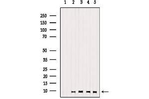 Image no. 1 for anti-G Protein gamma 13 (GNg13) antibody (ABIN6262017)