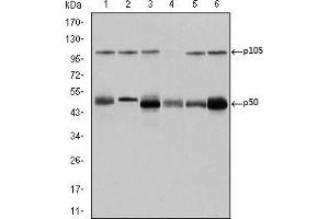 Western Blotting (WB) image for anti-Nuclear Factor of kappa Light Polypeptide Gene Enhancer in B-Cells 1 (NFKB1) antibody (ABIN969312)