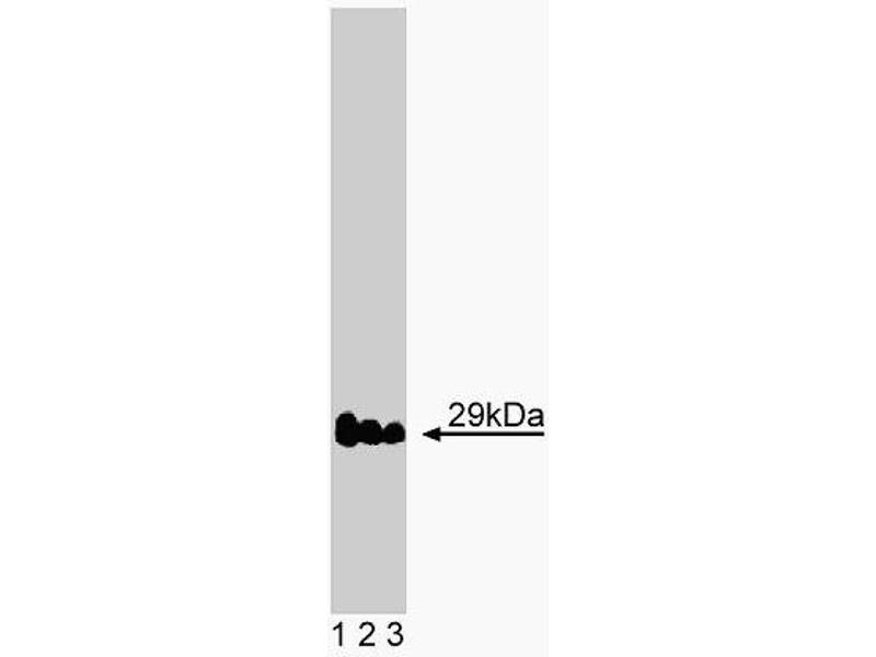 Western Blotting (WB) image for anti-Vesicle Transport through Interaction with T-SNAREs Homolog 1A (Yeast) (VTI1A) (AA 114-217) antibody (ABIN968427)