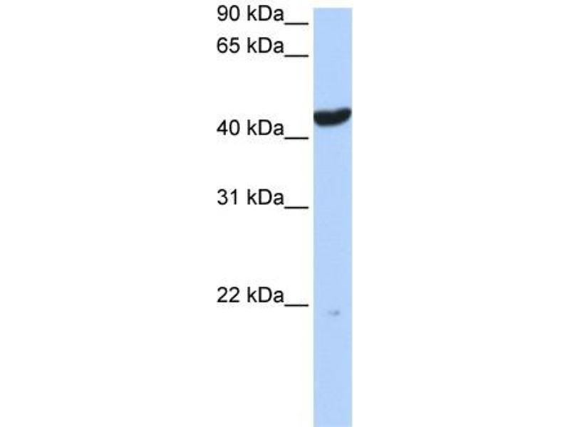 Western Blotting (WB) image for anti-Keratin 23 (KRT23) (Middle Region) antibody (ABIN405920)