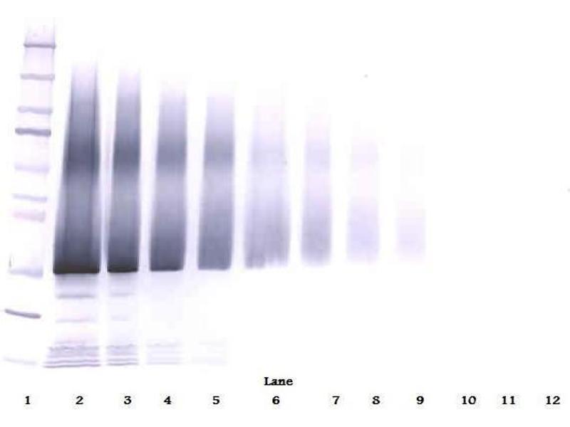 Western Blotting (WB) image for anti-Insulin-Like Growth Factor Binding Protein 5 (IGFBP5) antibody (ABIN181656)