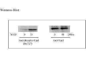 Image no. 5 for Signal Transducer and Activator of Transcription 1, 91kDa (STAT1) ELISA Kit (ABIN625230)