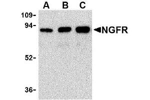 Western Blotting (WB) image for anti-Nerve Growth Factor Receptor (NGFR) antibody (ABIN2479591)