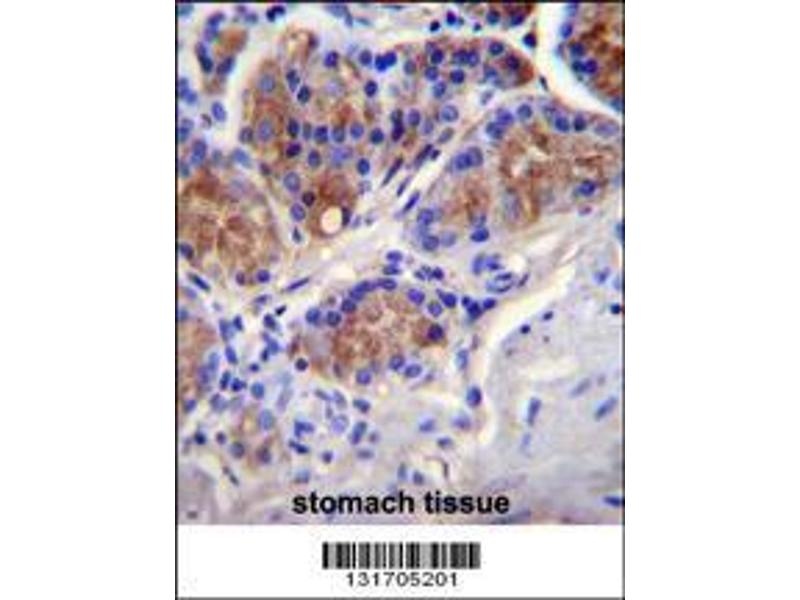 Immunohistochemistry (IHC) image for anti-Caspase 12 (Gene/pseudogene) (CASP12) (AA 165-193), (Center) antibody (ABIN655966)