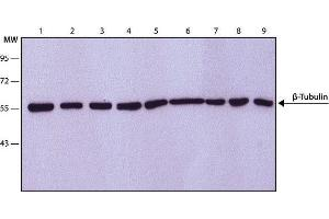 anti-Tubulin, beta (TUBB) antibody (3)