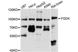 Image no. 1 for anti-FYVE, RhoGEF and PH Domain Containing 4 (FGD4) antibody (ABIN6140588)