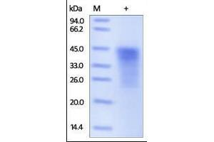 Image no. 1 for Programmed Cell Death 1 (PDCD1) (AA 25-167) protein (His tag) (ABIN2181615)