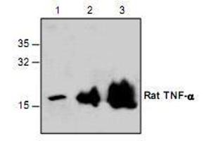Western Blotting (WB) image for anti-Tumor Necrosis Factor antibody (TNF) (ABIN222908)