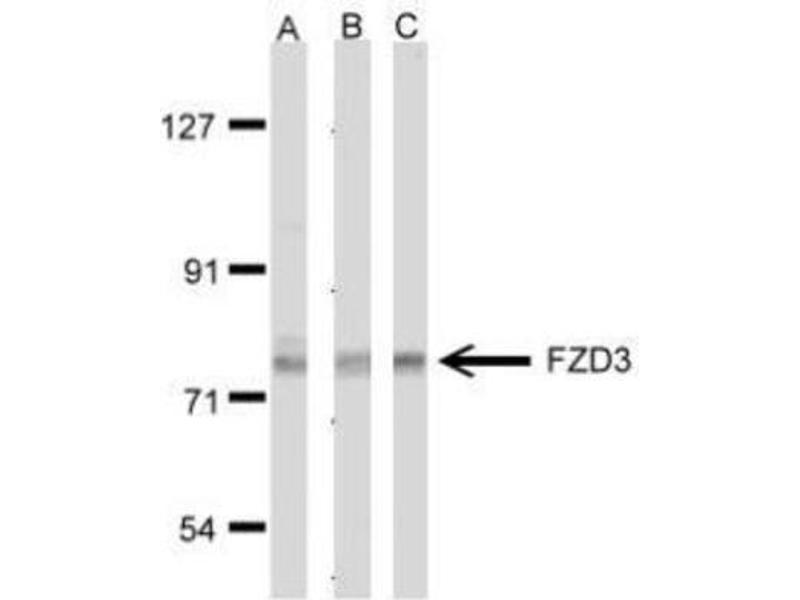 Western Blotting (WB) image for anti-FZD3 antibody (Frizzled Family Receptor 3) (ABIN440985)