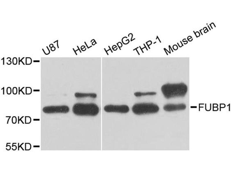 Image no. 3 for anti-Far Upstream Element (FUSE) Binding Protein 1 (FUBP1) antibody (ABIN6569996)