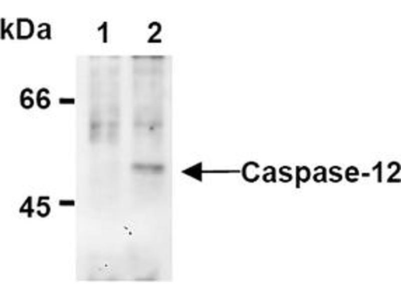 Western Blotting (WB) image for anti-Caspase 12 (CASP12) (AA 95-318), (N-Term) antibody (ABIN567795)
