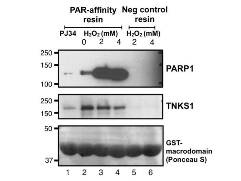 Western Blotting (WB) image for Poly-ADP-ribose Affinity Resin Set (ABIN1741733)
