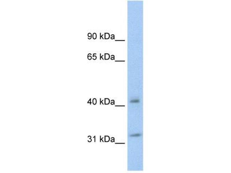 Western Blotting (WB) image for anti-tyrosine 3-Monooxygenase/tryptophan 5-Monooxygenase Activation Protein, theta Polypeptide (YWHAQ) (N-Term) antibody (ABIN926887)