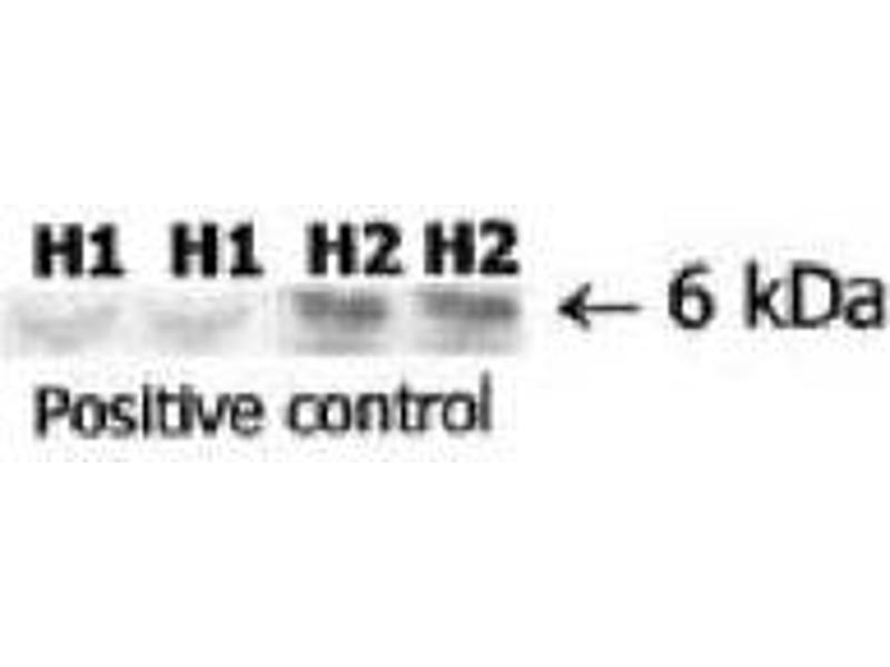 image for anti-Relaxin 2 (RLN2) antibody (ABIN191602)