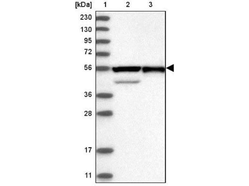 Western Blotting (WB) image for anti-RNA Binding Motif, Single Stranded Interacting Protein 3 (RBMS3) antibody (ABIN4349652)