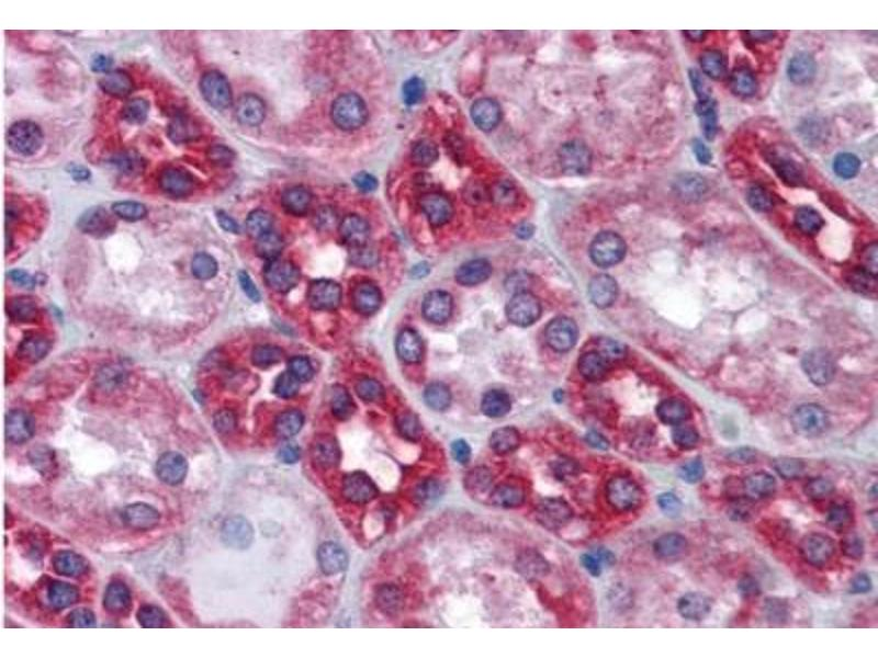 Immunohistochemistry (Paraffin-embedded Sections) (IHC (p)) image for anti-Calnexin (CANX) (N-Term) antibody (ABIN451825)