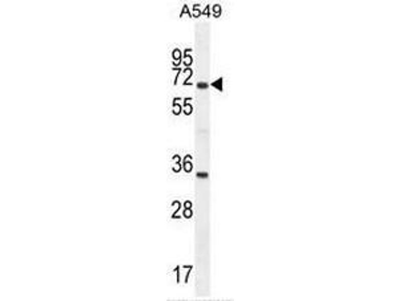 Western Blotting (WB) image for anti-Clusterin antibody (CLU) (AA 71-99) (ABIN950467)