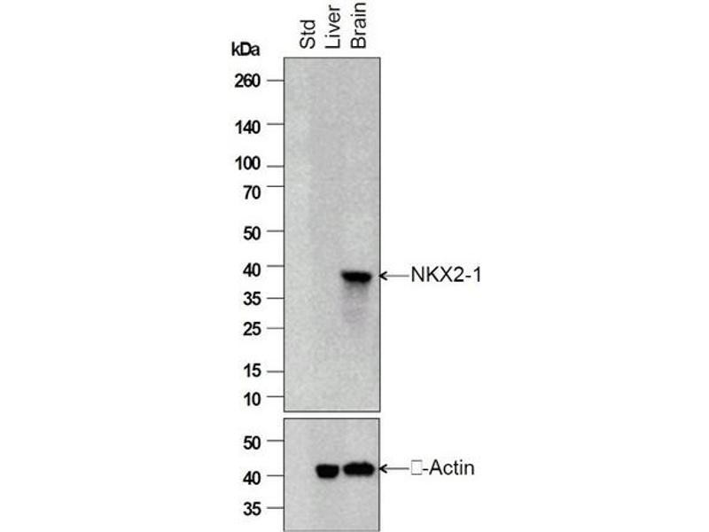 SDS-PAGE (SDS) image for anti-TTF-1 / Thyroid-Specific TF (AA 195-245) antibody (ABIN728713)