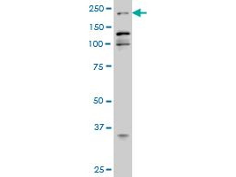 Western Blotting (WB) image for anti-p300 antibody (E1A Binding Protein P300) (AA 731-830) (ABIN515310)