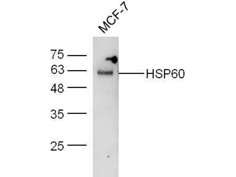 Western Blotting (WB) image for anti-Heat Shock 60kDa Protein 1 (Chaperonin) (HSPD1) (AA 520-573) antibody (ABIN726080)