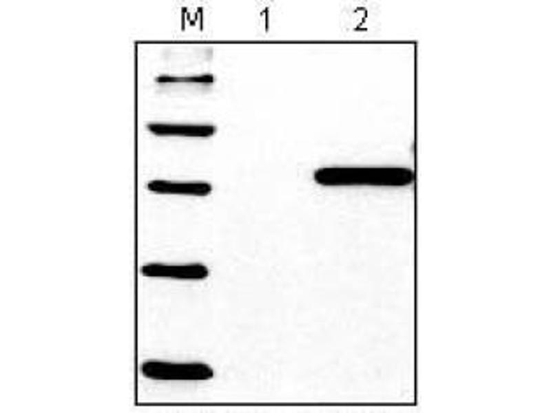 Western Blotting (WB) image for anti-His Tag antibody (ABIN1105141)