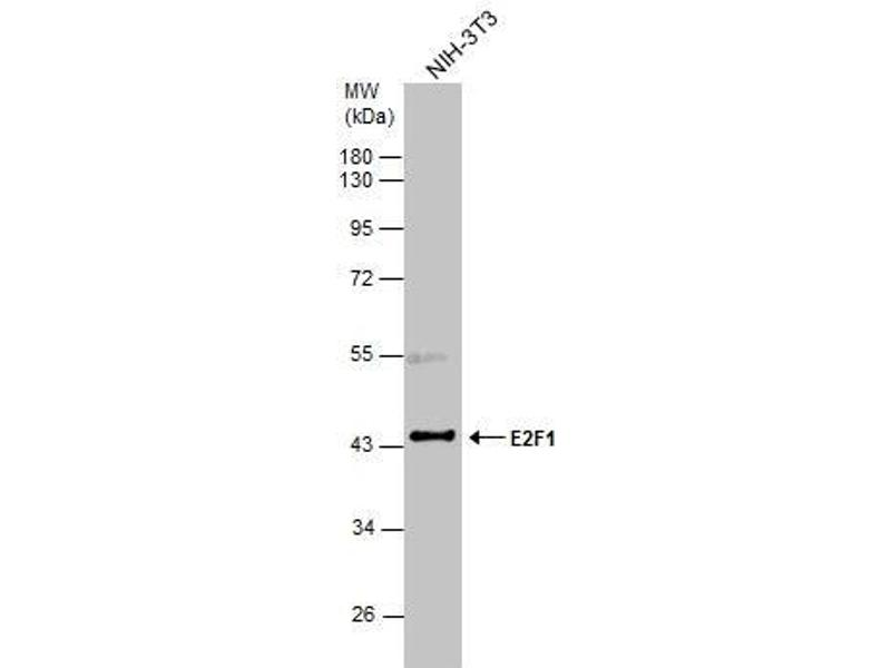 Western Blotting (WB) image for anti-E2F1 antibody (E2F Transcription Factor 1) (Center) (ABIN2854981)