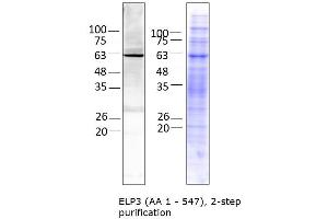 Image no. 1 for Elongator complex protein 3 (ELP3) (AA 1-547) protein (His tag) (ABIN3092446)