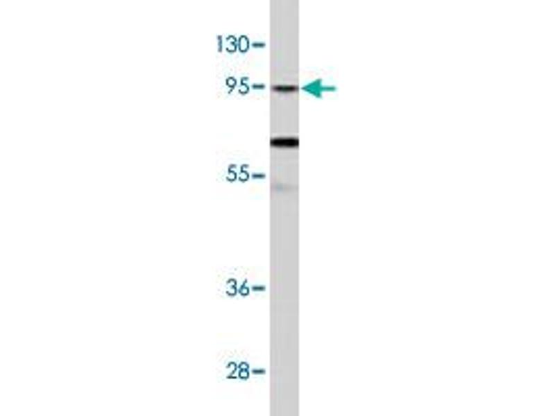 Image no. 1 for anti-Clock Homolog (Mouse) (CLOCK) antibody (ABIN543943)
