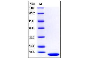 Image no. 1 for S100 Calcium Binding Protein A13 (S100A13) (AA 1-98) protein (ABIN2003697)
