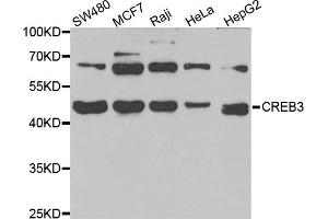 Image no. 1 for anti-CAMP Responsive Element Binding Protein 3 (CREB3) antibody (ABIN6570531)