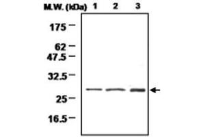 Image no. 1 for anti-Methionine Sulfoxide Reductase A (MSRA) antibody (ABIN532608)
