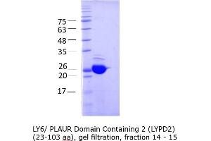 Image no. 3 for LY6/PLAUR Domain Containing 2 (LYPD2) (AA 23-103) protein (GST tag) (ABIN3083216)