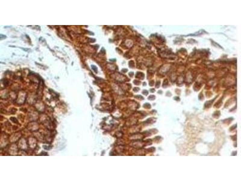 Immunohistochemistry (Paraffin-embedded Sections) (IHC (p)) image for anti-Tumor Necrosis Factor Receptor Superfamily, Member 11b (TNFRSF11B) (AA 20-37) antibody (ABIN252469)